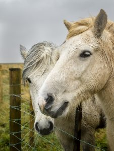 Two Icelandic Horses stand beside a fence in Iceland