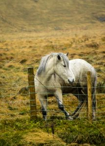 One white Icelandic horse stands behind a wire fence in Iceland